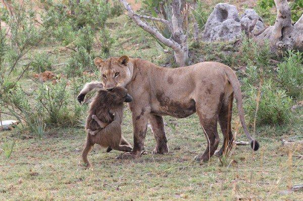 Lionees killed