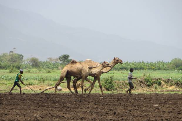 Working the land: farmers use camels to plough their field