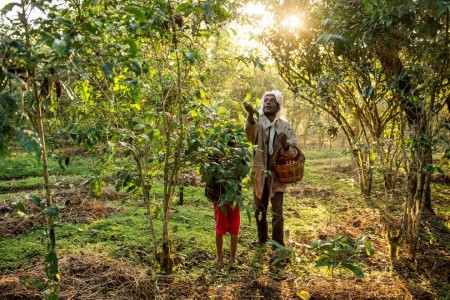 Ethiopian coffee farmer Awol Abagojam and his son Isaac harvest their product near the village of Choche, much the same way their ancestors did a thousand years ago.Photograph by Ami Vitale, Panos