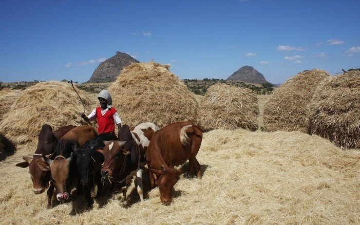 Global craving for ancient Ethiopian grain offers opportunities, pitfalls