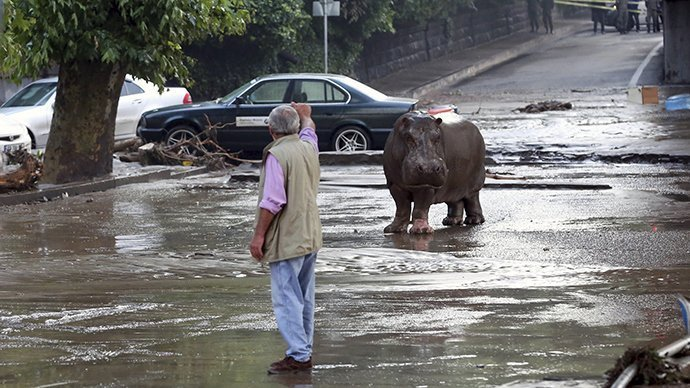 A man gestures to a hippopotamus at a flooded street in Tbilisi, Georgia, June 14, 2015 (Reuters / Beso Gulashvili)
