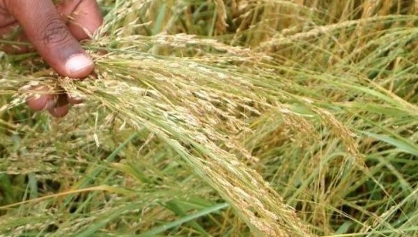 """Did a Dutch Company Engage in """"Bio-Piracy"""" by Patenting Teff, Ethiopia's National Grain?"""