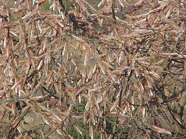 Desert locust _ Ethiopia _ Tigray