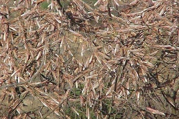Desert locust Ethiopia